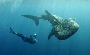 Un requin-baleine