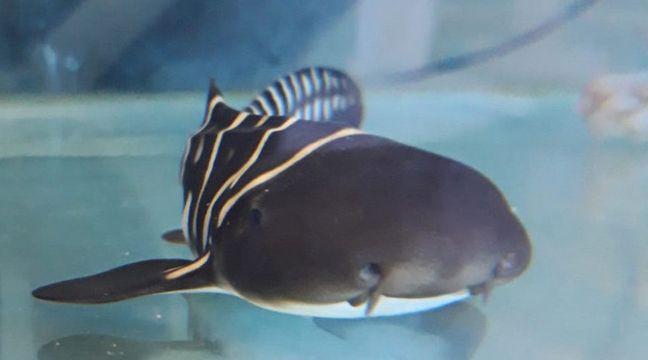 Boulogne-sur-Mer: Naissance de quatre bébés requins-zèbres à l'aquarium Nausicaá