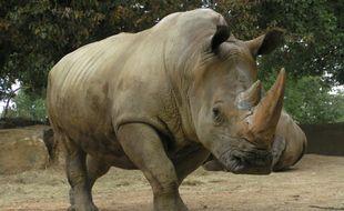 Buldo, le rhinocéros du zoo de Plaisance-du-Touch, fait partie des espèces menacées d'extinction.
