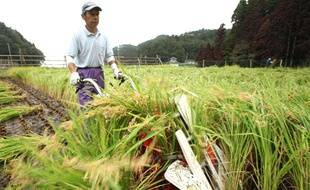 Un champ de riz au Japon, en septembre 2011.
