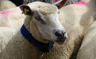 Trois éleveurs du Larzac testent actuellement ces colliers anti-loups.