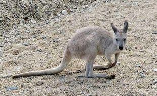 un kangourou à Queensland, 11 juillet 2010