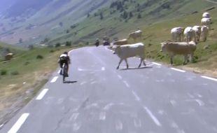 Capture d'écran des vaches sur le Tour de France