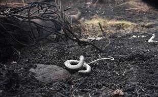 Un serpent mort dans le parc naturel Otuquis, dans la région du Pantanal bolivien, le 27 août 2019.