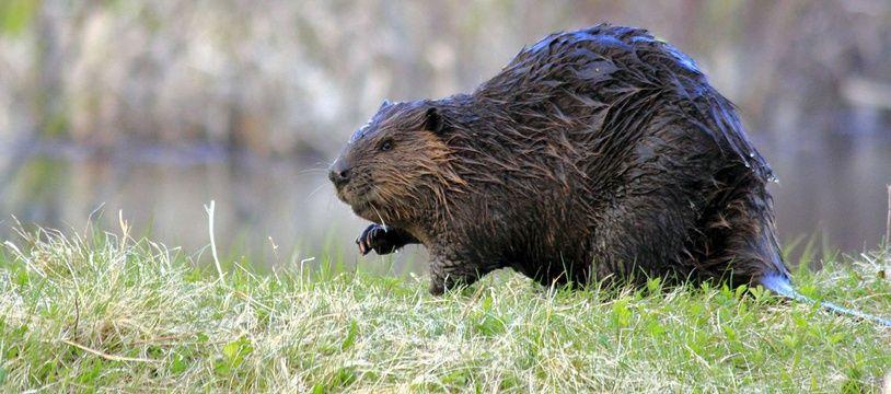Le castor fait timidement son retour dans le Nord.