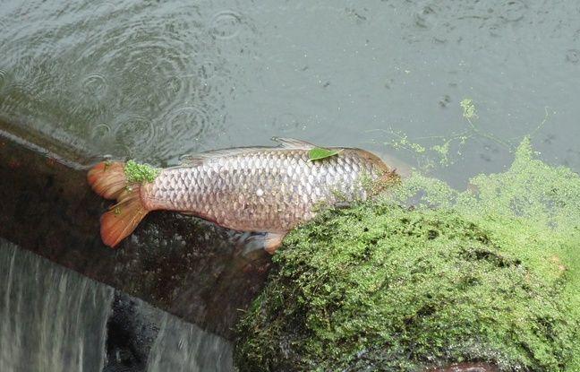 Des milliers de poissons sont morts dans la Seiche, à la suite d'une pollution de l'usine Lactalis de Retiers, en Ille-et-Vilaine.