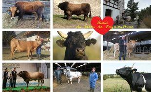 La vache est la vraie star du Salon international de l'agriculture et chaque région française a sa représentante.