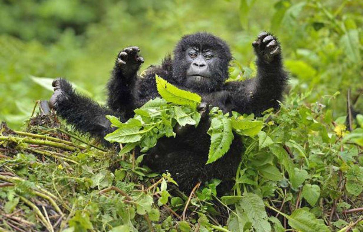 Un gorille des montagnes, dans le parc de Virunga, au Congo. – Andy Rouse / Rex Featur/REX/SIPA