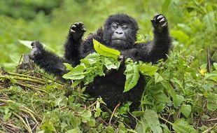 Un gorille des montagnes, dans le parc de Virunga, au Congo.