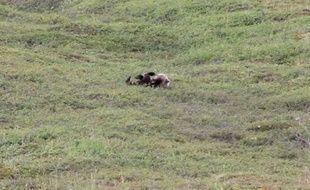 Un ours filmé en train de faire des roulades dans une réserve naturelle de l'Alaska (Etats-Unis).