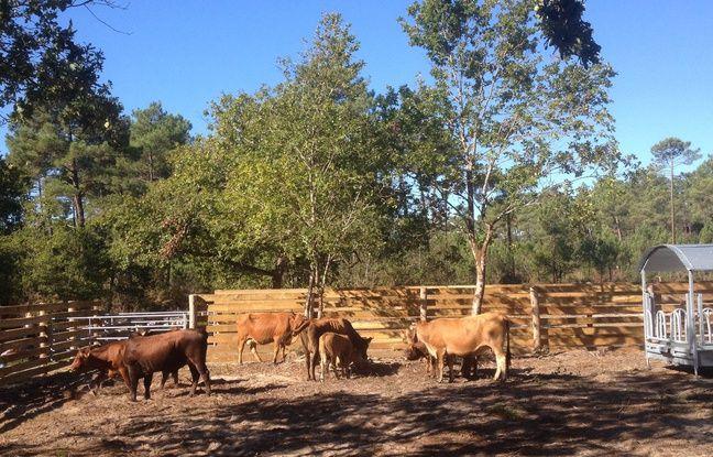 Dix vaches marines ont été réintroduites par le Conservatoire des races d'Aquitaine.