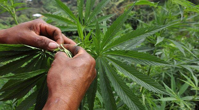 Le mélange café-cannabis présenterait des risques pour la santé. – LUIS ROBAYO / AFP