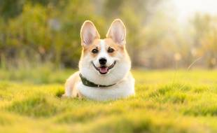 Un chien de race Corgi (illustration).