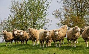 Un troupeau de moutons dans la Sarthe.