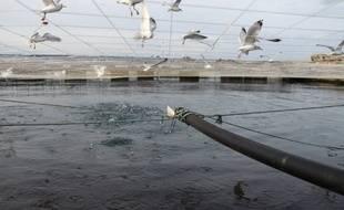 Une ferme offshore aquacole titanesque flotte depuis quelques mois au large de la Norvège. Elle pourrait accueillir à plein régime 1,1 million de saumon.