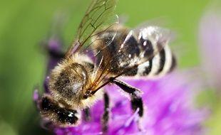Une abeille butinant la fleur d'un trèfle. (Illustration)