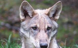 Illustration d'un loup.