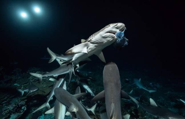 Tout seul, le requin gris n'arrive à rien. Il manque la majorité de ses attaques.