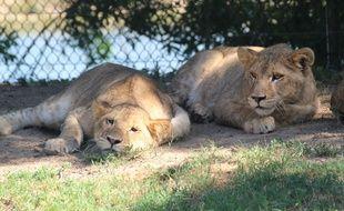 Trois lionnes et un lion viennent de prendre leur quartier au zoo de Plaisance-du-Touch.