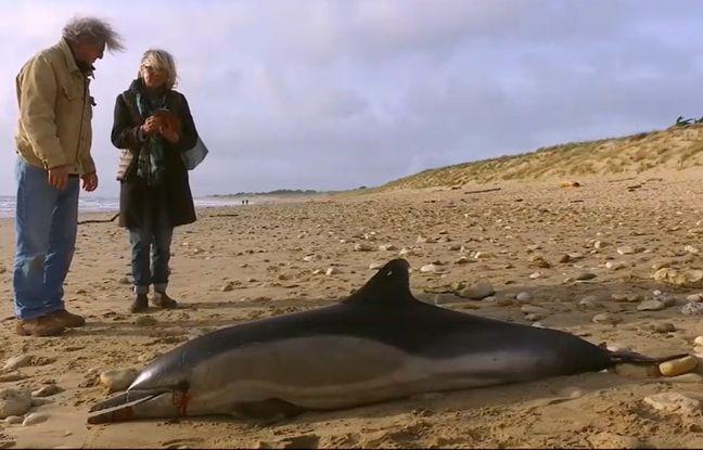 Un dauphin échoué en Vendée.