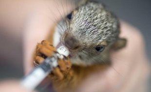 Une infirmière donne un médicament à un écureuil dans le centre vétérinaire du zoo de San Jose, le 28 août 2014