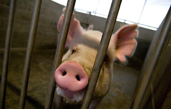 Un cochon de l'université UC Davis, en Californie.