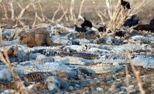 Les caïmans de la rivière Pilcomayo, au Paraguay, ont la peau blanchie par la déshydratation sont épuisés par la chaleur et la dénutrition