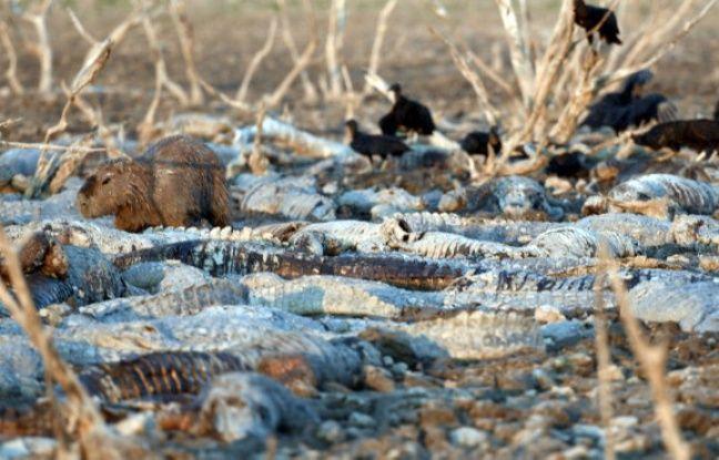 Les vautours se posent sur les reptiles et les piquent de leur bec