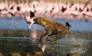 Une hyène attaque une colonie de flamants roses aux abords du lac Nakuru au Kenya, le 10 juin 2009.