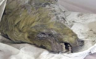 Une gigantesque tête de loup vieille de 32.000 ans a été découverte en Sibérie.