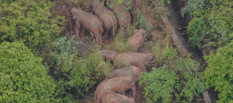 Le troupeau est suivi en permanence par des drones qui surveillent leur évolution.