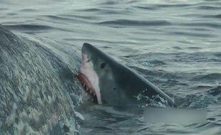 Des requins dévorent une baleine