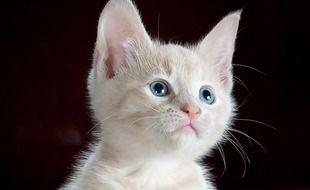 Les chats pourraient être les futurs transmetteurs de coronavirus à l'humain. Illustration
