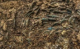 Photo publiée le 19 novembre 2015 par le service d'archéologie du canton d'Argovie (nord de la suisse) montre le trésor de vieilles pièces découvert dans un verger à Ueken
