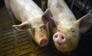 Deux cochons de l'élevage de porc de Nicolas Leborgne de Pluduno, dans les Côtes-d'Armor, le 2 mars 2015