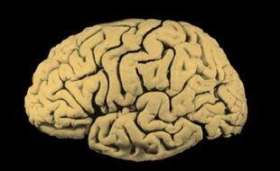 Une coupe latérale d'un cerveau