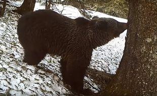 L'un des ours observé par les caméras de l'ONCFS.