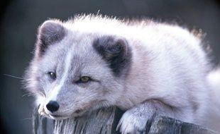 Un couple de renards polaires a pris ses quartiers au zoo de Lille.