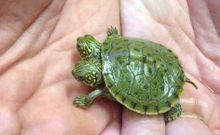 Thelma et Louise, une tortue à deux têtes qui vient de naître dans un zoo de San Antonio, aux Etats-Unis