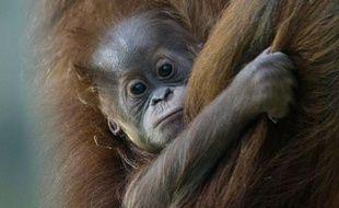 Matra, une femme orang-outang de 33 ans et sa petite Jolie, 15 semaines au zoo de Munich, Allemagne, le 27 octobre 2009.