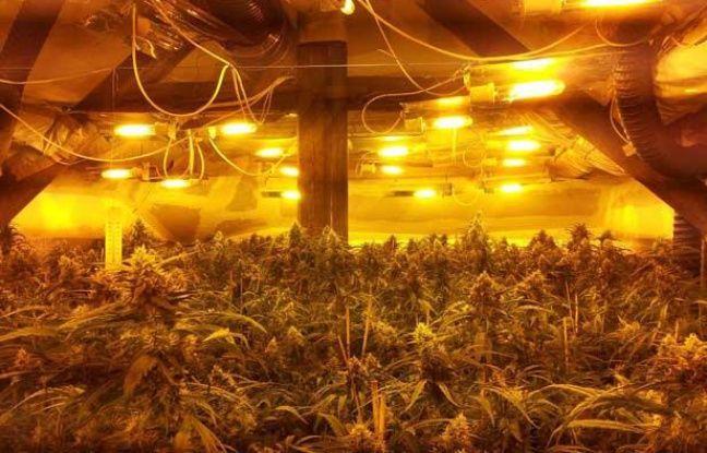 Des quipes de trafiquants vietnamiens se sp cialisent for Cultiver le cannabis en interieur