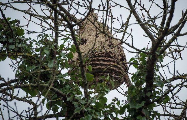 Un nid de frelon asiatique dans un arbre.