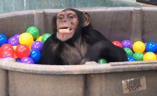 Sauvés d'un labo, ces singes sont les plus heureux du monde - Le Rewind
