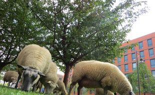 Les moutons ont été dérobés dans la pâture d'un particulier (illustration).
