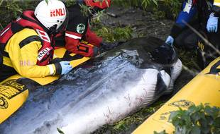 Un bébé baleine échoué sur le bord d'une écluse au sud de Londres a été euthanasié le 11 mai 2021.