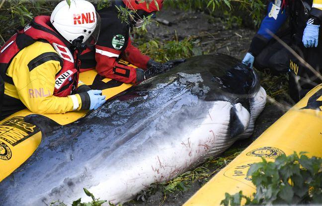 648x415 bebe baleine echoue bord ecluse sud londres secouru debut mai 2021