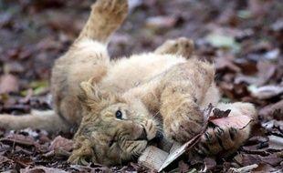 Illustration: Un bébé lion d'Asie, au zoo de Paignton, en Angleterre, en décembre 2012.