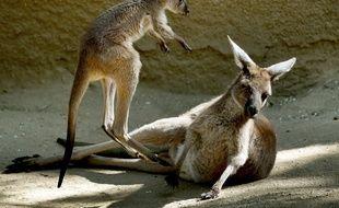 Les kangourous d'Australie ne sont pas victimes du blé transgénique.