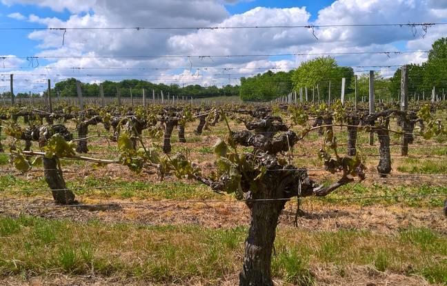 On ignore encore exactement le nombre d'hectares de vignes sinistrés.