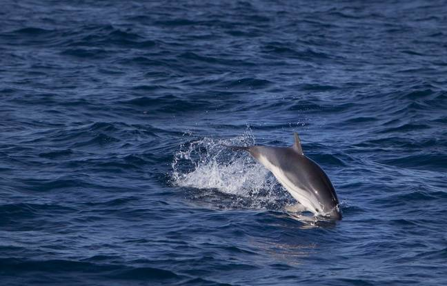 Illustration d'un dauphin. Ici, en mer Méditerranée.